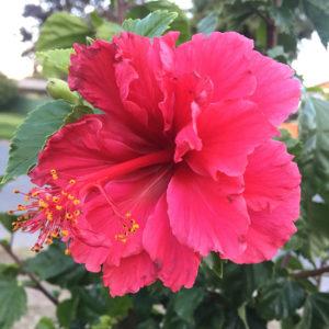 Hibiscus-flores-de-california-fertilidad